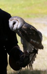 Australian Barn Owl