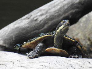Tortoise sunning.